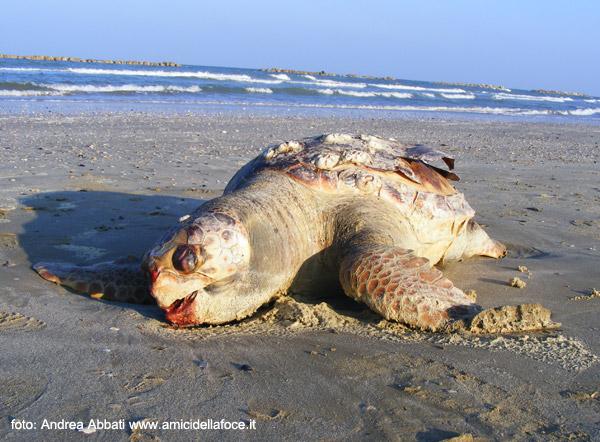 Senigallia ambiente amici della foce del fiume cesano 1986 for Tartarughe di mare domestiche